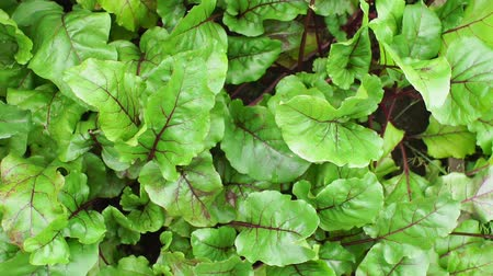 bieten : natural background of green beet leaves