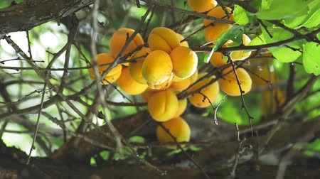 meruňka : apricots fruit on the harvest tree