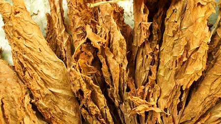 cigar : dry tobacco leaves close-up of Virginia tobacco Stock Footage