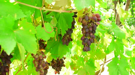 szőlőművelés : black grapes on a branch of the vineyard