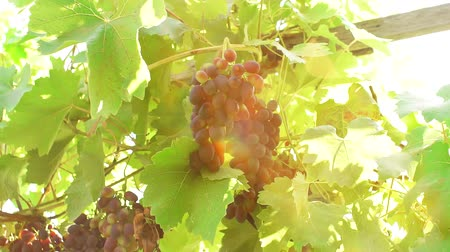 viticultura : black grapes on a branch of the vineyard