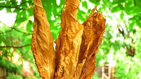 cigar : dried tobacco leaves leaf drying Stock Footage