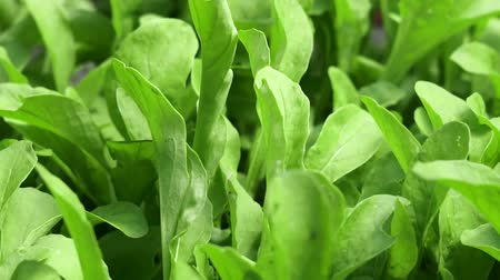 propagação : spinach leaves close up crop Vídeos