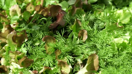 parsley : organic plants lettuce dill closeup Stock Footage