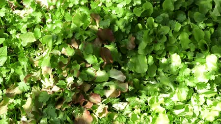 petržel : organic spices parsley and salad close - up growing Dostupné videozáznamy