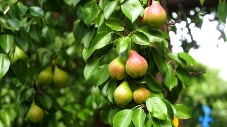 pereira : pears on a tree branch close-up