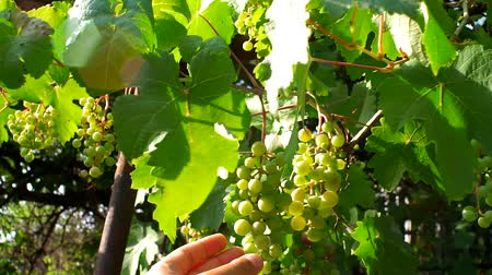 szőlőművelés : white grapes closeup farming gardening Stock mozgókép