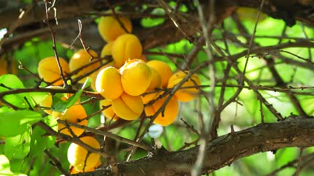 damascos : Ripe apricots close up on a tree branch