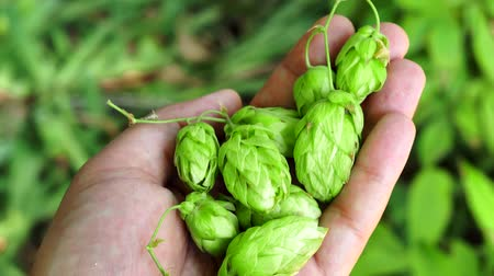 brew : hops plant in the hand closeup