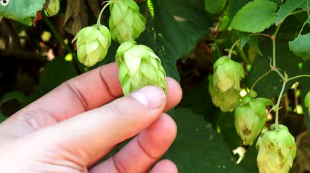 brew : hop plant closeup in the hand of the farmer Stock Footage