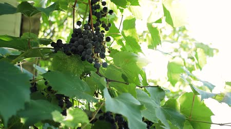 viticultura : ripe black grapes on a bright Sunny day fruit harvest
