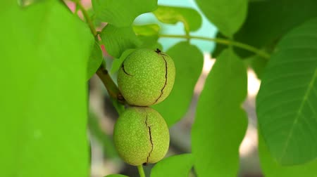 nogueira : ripe green walnut on a tree branch