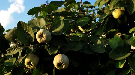 pigwa : harvest quince fruit on a tree in the garden