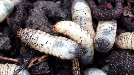 solucan : large white worms close up macro