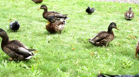 pato real : birds ducks running on the grass eating bread