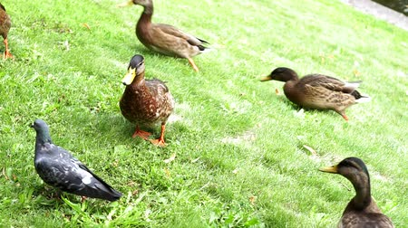 yeşilbaş : flock of ducks running on the grass in a public Park