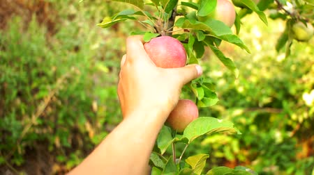 ogrodnik : farmer harvests apples from a tree in the garden Wideo