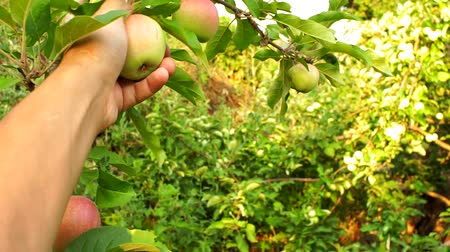 plucks : harvesting apples in the garden hand farmer plucks an Apple from a tree in the garden