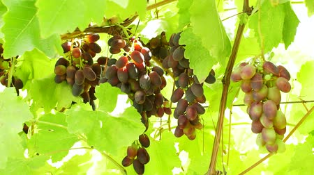 vinná réva : black grapes on a branch on a bright day. Harvest of organic fruits in autumn