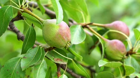 pereira : ripe fruit pears on a tree branch closeup