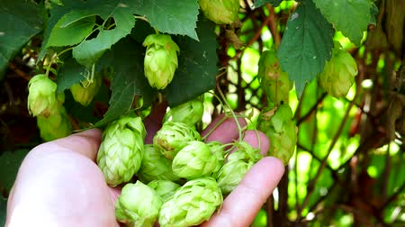 hops : hops in the farmer hand ingredient for making beer Stock Footage