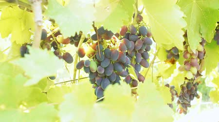 shluk : Bunches of ripe black grapes Dostupné videozáznamy