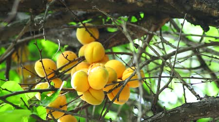morele : ripe apricots on a tree branch closeup. Organic ripe harvest fruit in the garden in summer