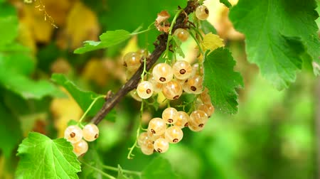 jardinero : white currant berry on a Bush branch closeup. on branch in garden macro Archivo de Video