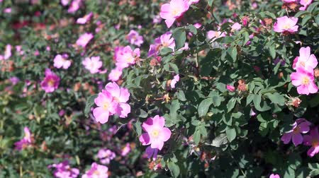 kırmızı şarap : Dog rose pink flowers swaying or the wind in sunset. Blooming wild rose hip bush. Blossoming Rosehip in spring. Blossom flower, close up. For food and medical. Rosa canina flowers and leaves Stok Video