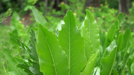 hardal : horseradish leaves closeup nature background. Plant growing plants and organic vegetables