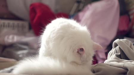 snoeien : white domestic cat licks the fur. on the couch funny pet Stockvideo