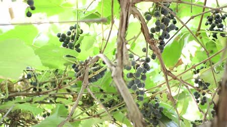 vinná réva : Ripe bunches of black grapes the wine at the winery. Green leaves, authentic rural vineyard.