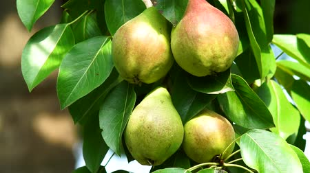 pereira : ripe pears on a tree branch closeup in the garden. Static camera harvest organic fruit Vídeos
