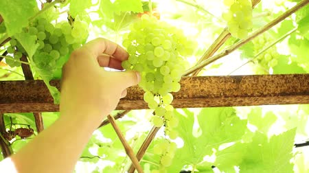 szőlőművelés : hand of the farmer picks ripe white grapes Kish-Mish. Fruit harvest bright Sunny day