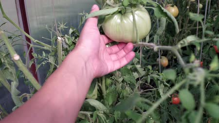 kertészet : checking the harvest of green tomatoes in the greenhouse selective focus. Farmers hand takes a tomato