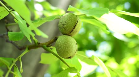 walnut shell : ripe walnuts on a tree branch closeup. Organic nuts in the garden, healthy food