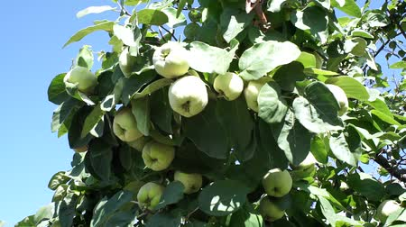 pigwa : tree branches growing and garden fruit tree. quince tree with blue sky. Harvest ripe fruit in the garden