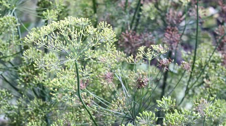укроп : flowering dill close up growing plants Стоковые видеозаписи