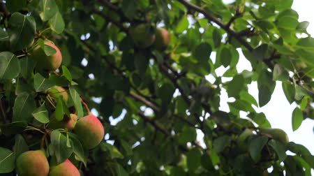 pears on the branches of a tree. Ripe fruit in the garden, organic food, fruit growing Vídeos