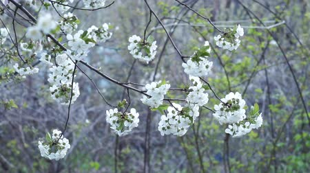 fleur de cerisier : cherry blossom crown of cherry tree beautiful white blossom and more, white foliage flowers growing before cherries. selective focus, soft focus Vidéos Libres De Droits
