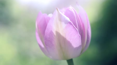 장식 정원 : Pink beautiful Tulip flower close up, macro soft focus, selective focus. 무비클립