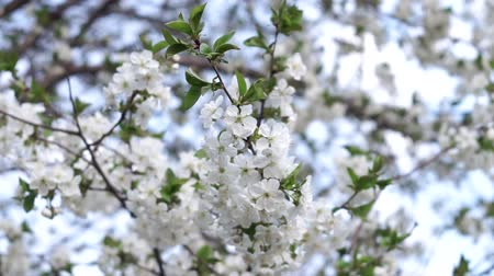 fleur de cerisier : cherry blossom, Cherry blossom, Japanese flowering cherry on the Sakura tree. Blossoming cherry trees.