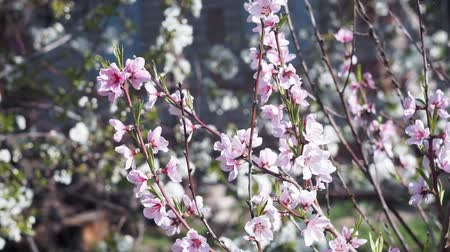 fleur de cerisier : pink peach blossoms blooming in the garden