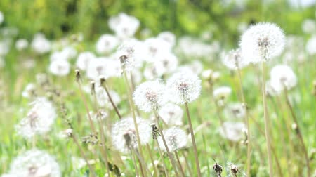 white dandelion flowers and fresh spring green grass on pretty meadow. Summer concept