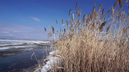 arktický : winter landscape by the river, reeds in the wind. Winter lake blue sky, flying birds, nature