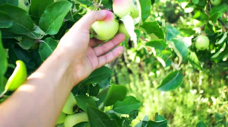 farmers hand picks an Apple. The cultivation of apples. Ripe red apples on the branches of a tree in the garden