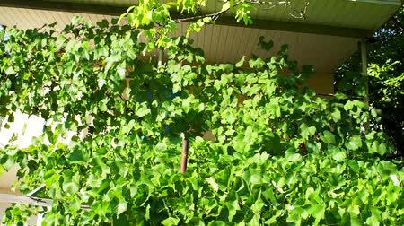 vigneto : growing green vineyard near the house. Growing grapes, organic fruits, grapes for wine