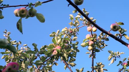 zahradník : organic apples on a tree branch. The cultivation of apples. Ripe red apples on the branches of a tree in the garden Dostupné videozáznamy