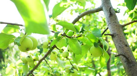 Green apples on branches of a tree, the bright sunlight in the summer. Harvest on a fruit tree. Soft focus, selective focus, bright Sunny day.