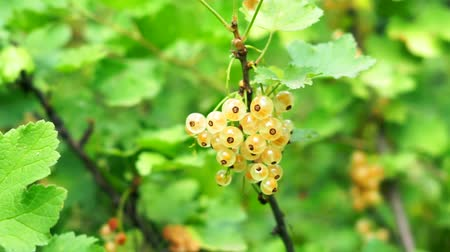 смородина : White currant on the branches of a Bush close-up. White berries on natural green background Стоковые видеозаписи